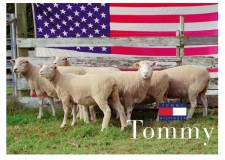 adbusters_Tommy_sheep